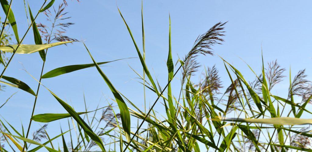 reedflowers